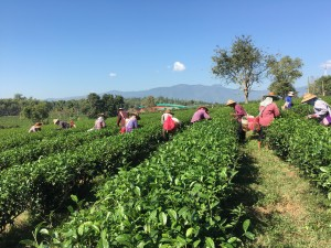 Hand picking of tea leaves